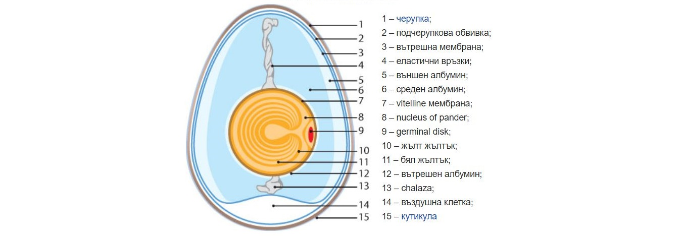 //akvilon-am.com/wp-content/uploads/2018/07/egg-anatomy.jpg